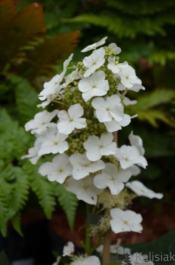Hydrangea quercifolia 'Alice' (Hortensja dębolistna) - C5