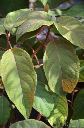 Hydrangea aspera HOT CHOCOLATE 'HAOPR012' (Hortensja kosmata) - C6