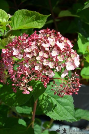 Hydrangea arborescens SWEET ANNABELLE 'NCHA4' (Hortensja krzewiasta) - C5