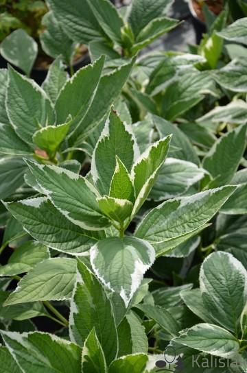 Hydrangea macrophylla 'Light-o-Day' (Hortensja ogrodowa) - C5