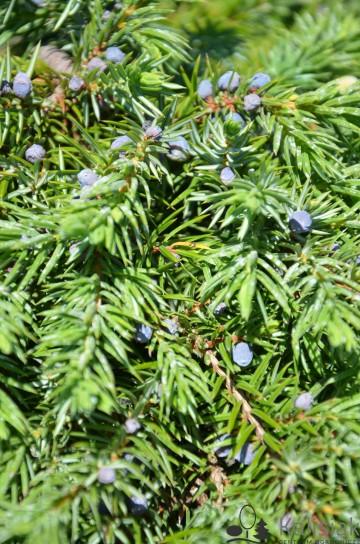 Juniperus conferta 'Schlager' (Jałowiec nadbrzeżny) - P16