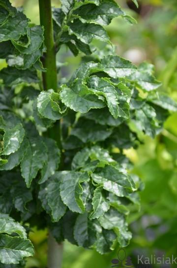 Fraxinus excelsior 'Crispa' (Jesion wyniosły) - C5