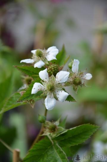 Rubus fruticosus 'Loch Ness' (Jeżyna bezkolcowa) - C3