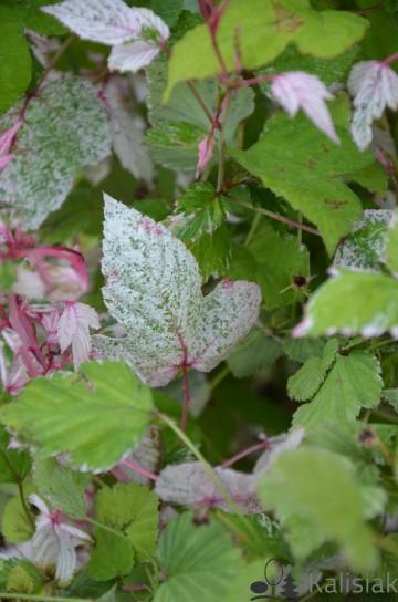 Rubus microphyllus 'Variegatus' (Jeżyna drobnolistna) - C3