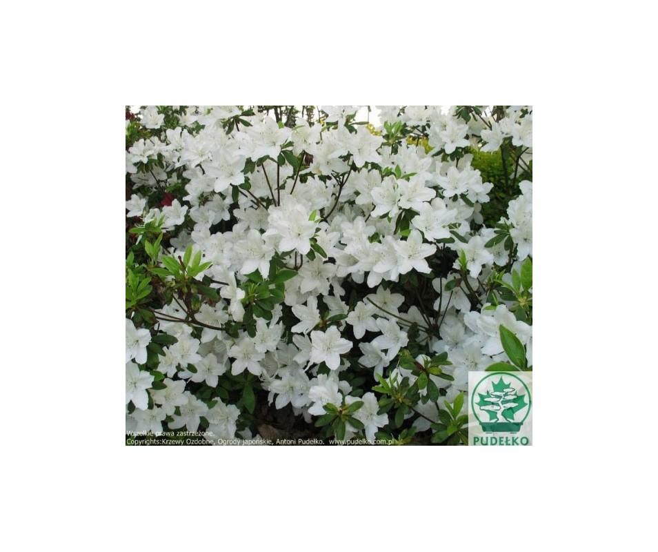 Rhododendron japanese azalea 'Luzi'