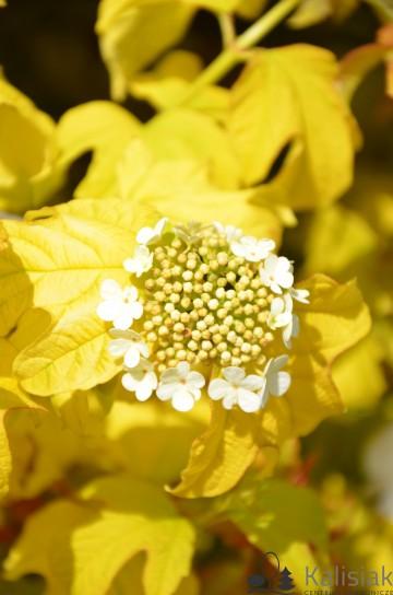 Viburnum opulus 'Harvest Gold' (Kalina koralowa) - C3