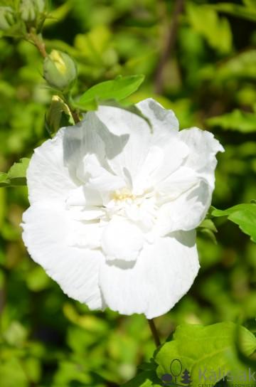 Hibiscus syriacus WHITE CHIFFON 'Notwoodtwo' (Ketmia syryjska) - C6