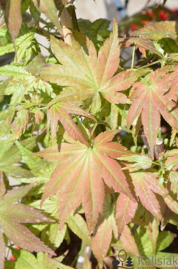 Acer palmatum 'First Ghost' (Klon palmowy) - C5 bonsai