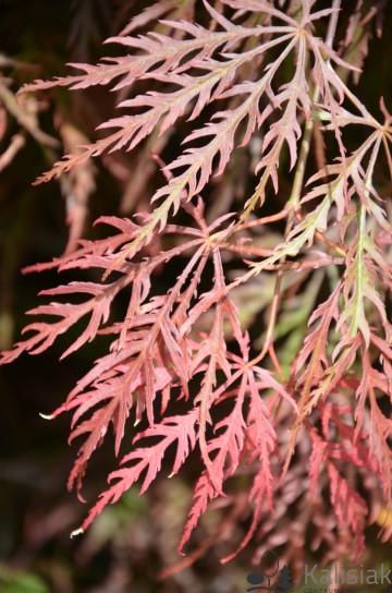 Acer palmatum 'Inaba-shidare' (Klon palmowy) - C7.5