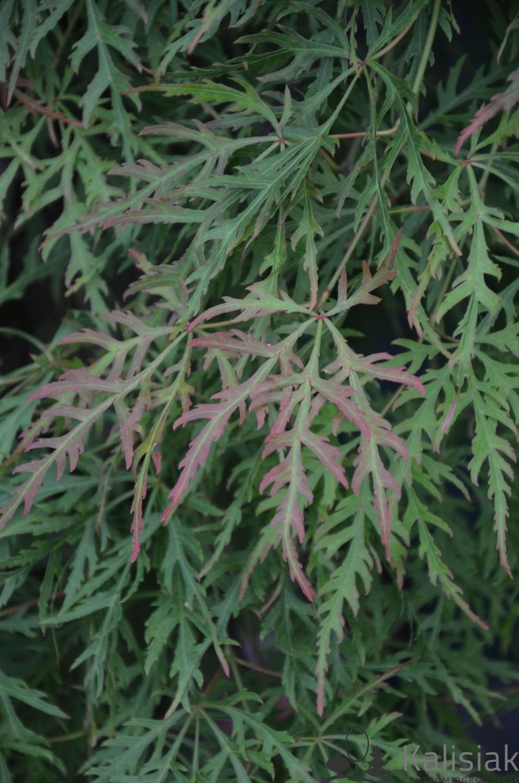Acer palmatum 'Orangeola' (Klon palmowy) - C5