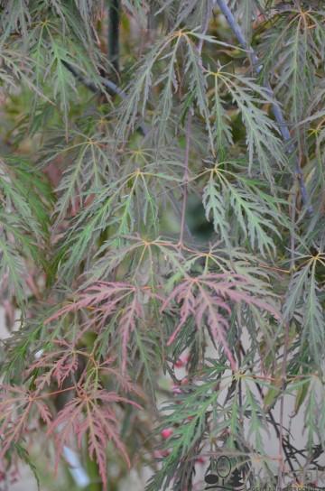 Acer palmatum 'Tamukeyama' (Klon palmowy) - C5 bonsai