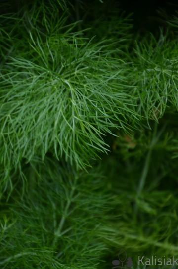 Foeniculum vulgare (Koper włoski / fenkuł) - C1.5