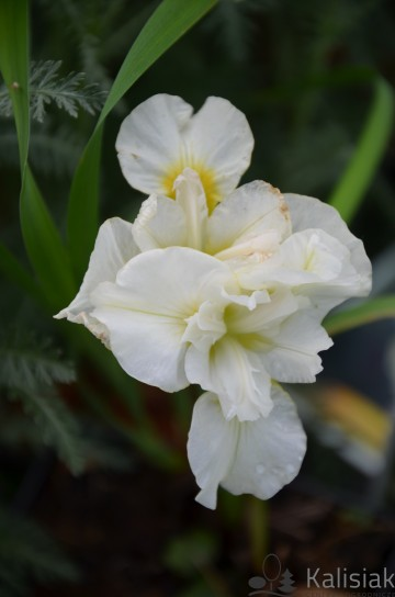 Iris sibirica 'Yellow Tail' (Kosaciec syberyjski) - P11