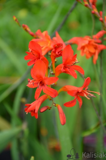 Crocosmia 'Fire King' (Krokosmia)  - C3