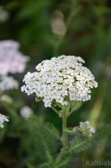 Achillea 'White Beauty' (Krwawnik)  - P11