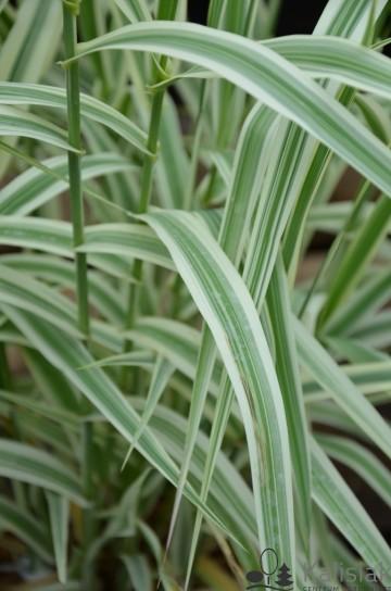 Arundo donax 'Ely' (Lasecznica trzcinowata) - C3