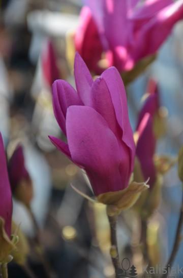Magnolia 'Susan' (Magnolia) - C2