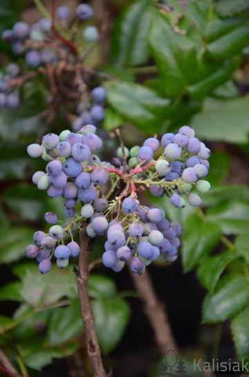 Mahonia aquifolium (Mahonia pospolita) - C2