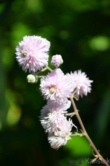 Rubus ulmifolius 'Bellidiflorus' (Malina ozdobna) - C3