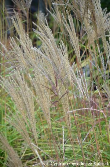 Miscanthus sinensis 'Nippon' (Miskant chiński) - C7.5