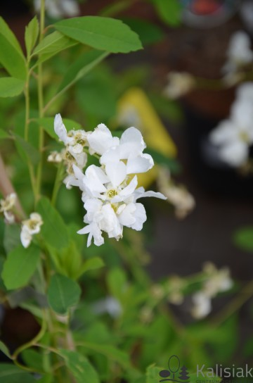 Exochorda racemosa 'Niagara' (Obiela wielkokwiatowa) - C4