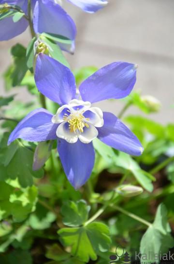 Aquilegia 'Spring Magic Blue White' (Orlik) - C2