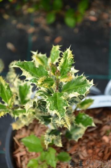 Ilex aquifolium 'Ferox Argentea' (Ostrokrzew kolczasty) - C3