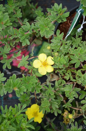 Potentilla fruticosa 'Elizabeth' (Pięciornik krzewiasty) - C2