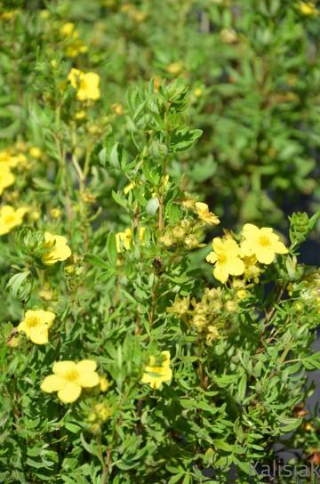 Potentilla fruticosa 'Fredhem' (Pięciornik krzewiasty) - C2
