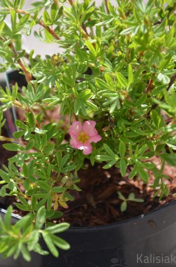 Potentilla fruticosa PINK PARADISE 'Kupinpa' (Pięciornik krzewiasty) - C2