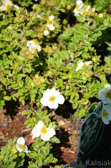 Potentilla fruticosa 'Tilford Cream' (Pięciornik krzewiasty) - C2