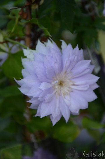 Clematis 'Belle of Woking' (Powojnik)  - C2