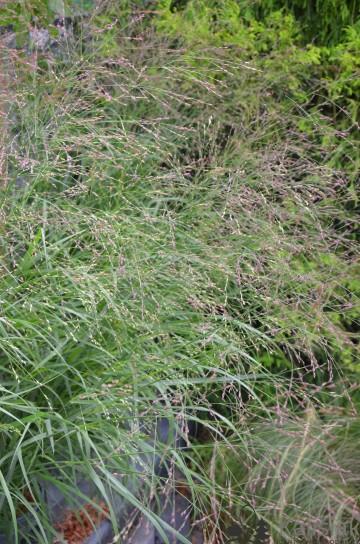 Panicum virgatum 'Shenandoah' (Proso rózgowate) - C3