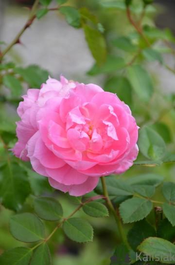 Rosa 'Prairie Joy' (Róża kanadyjska) - C2