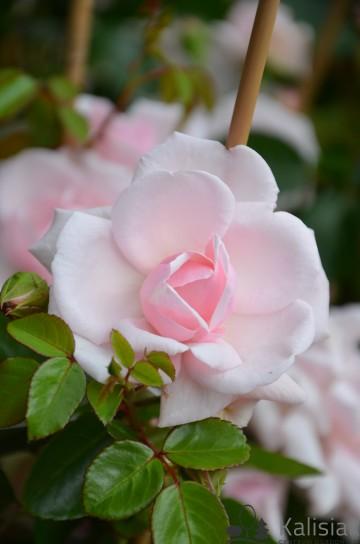 Rosa 'New Dawn' (Róża pnąca) - C2