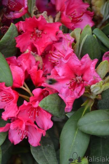 Rhododendron 'Neon Kiss' (Różanecznik) - C5