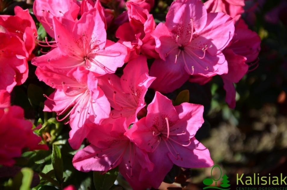 Rhododendron japanese azalea 'Petticoat'