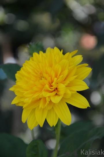Helianthus 'Sunshine Daydream' (Słonecznik) - C2