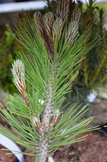Pinus heldreichii 'Compact Gem' (Sosna bośniacka) - C5