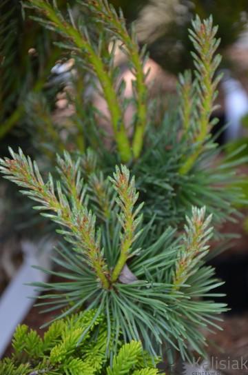 Pinus sylvestris 'Sandrigham' (Sosna pospolita) - C5