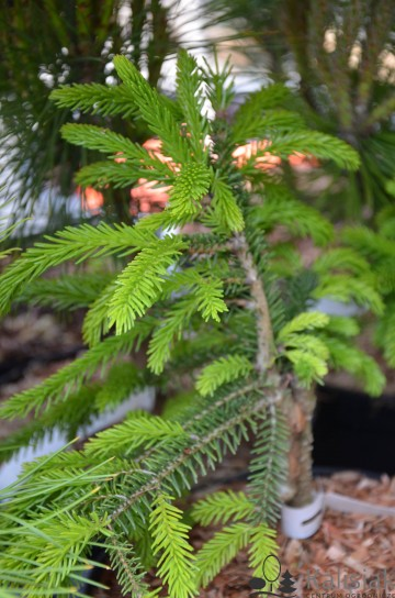 Picea orientalis 'Losely' (Świerk kaukaski) - C5