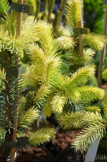 Picea pungens 'Byczkowski' (Świerk kłujacy) - C5
