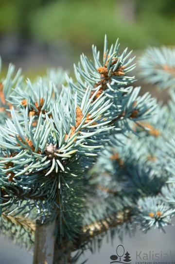 Picea pungens 'Glauca Globosa' (Świerk kłujący) - C5