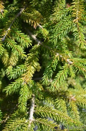 Picea orientalis 'Golden Start' (Świerk kaukaski) - C5