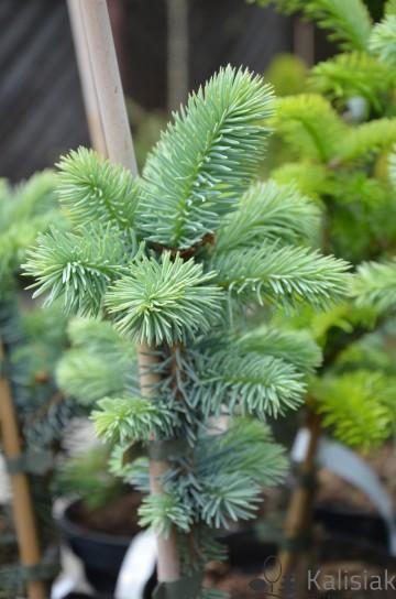 Picea pungens 'Oldenburg' (Świerk kłujący) - C5