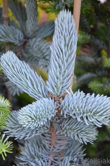 Picea pungens 'Vuyk' (Świerk kłujący) - C7.5