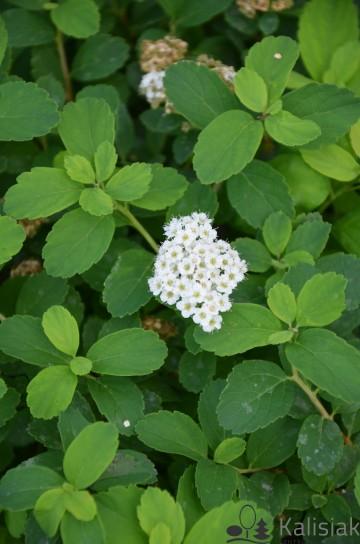 Spiraea betulifolia 'Tor' (Tawuła brzozolistna) - C5