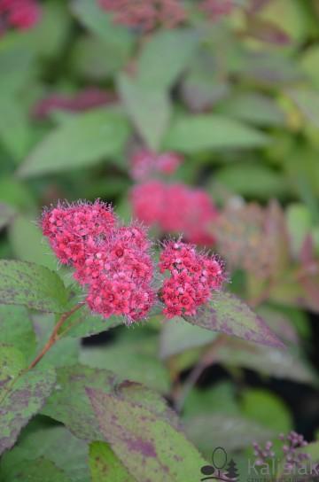 Spiraea japonica DOUBLE PLAY RED (Tawuła japońska) - C5
