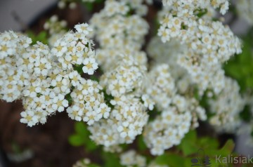 Spiraea nipponica 'June Bride' (Tawuła nippońska) - C2