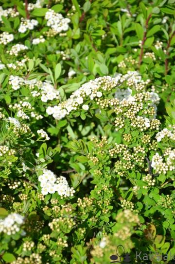 Spiraea nipponica 'Snowmound' (Tawuła nippońska) - C5